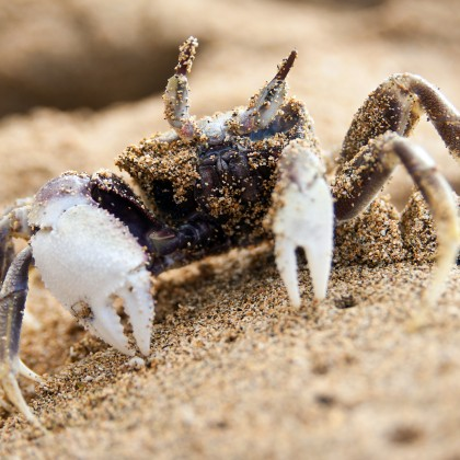 Kauai Ghost Crab