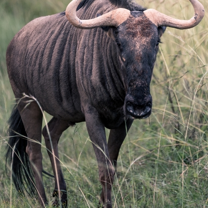 South African Wildebeest