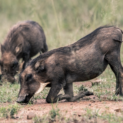 South African Warthogs grazing on their knees