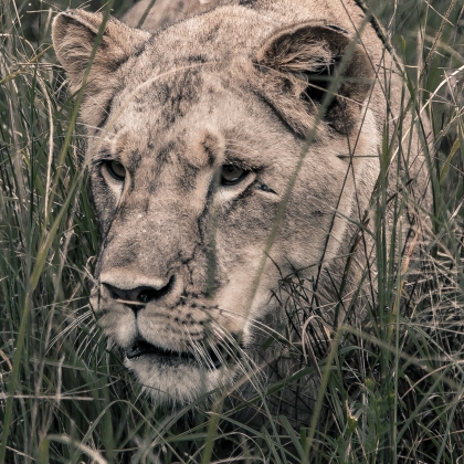 A Young Lioness in the Grass