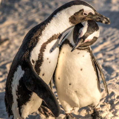 African Penguins embrace each other at Boulders Beach, South Africa