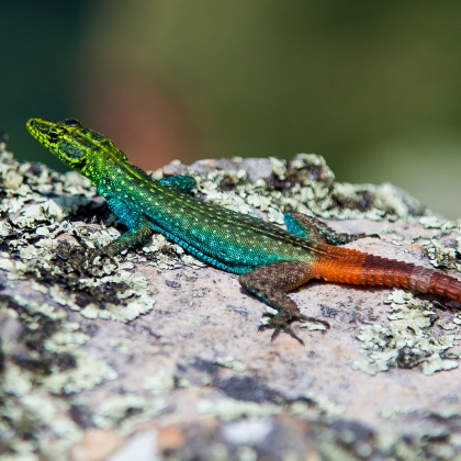 A Sekukhune Flat Lizard sunbathing in Blyde River Canyon